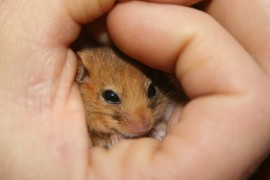 Animal Mitigation - Dormouse in Hand