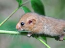 Dormouse - Muscardinus avellanarius
