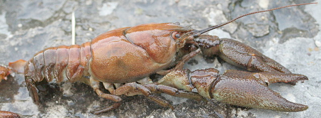 White Clawed Crayfish survey, White Clawed Crayfish impact assessment