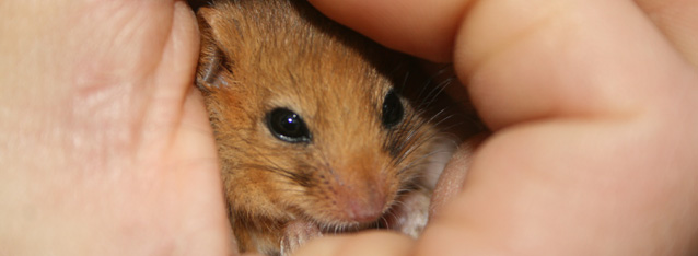 Ecological consultancy, ecology solutions - dormouse in hand