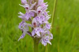 Plant Mitigation - Pyramidal Orchid