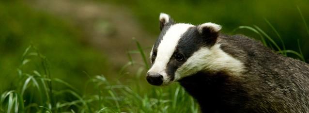 Badger Surveys, Badger Sett Creation
