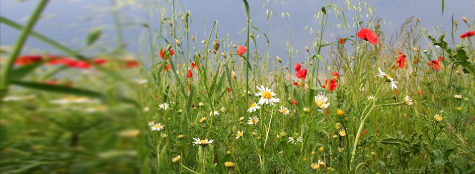 Wild Flower Grassland