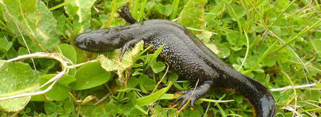 Crested Newt mitigation, Great Crested Newt licence application, Great Crested Newt fencing