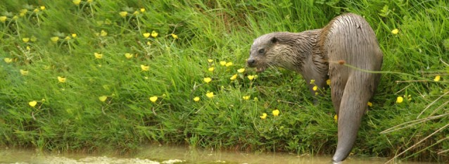 Otter survey, Otter mitigation, Otter impact assessment