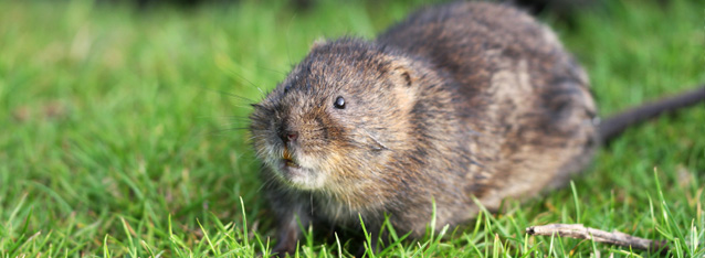 Water Vole survey, Water Vole impact assessment, Water Vole mitigation